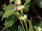 chrysolina_fastuosa_su_galeopsis.jpg