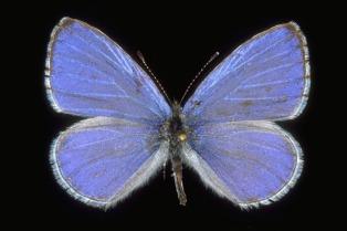 licenide-azzurro2.jpg