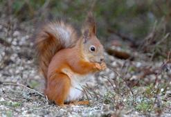 scoiattolo_rosso1.jpg
