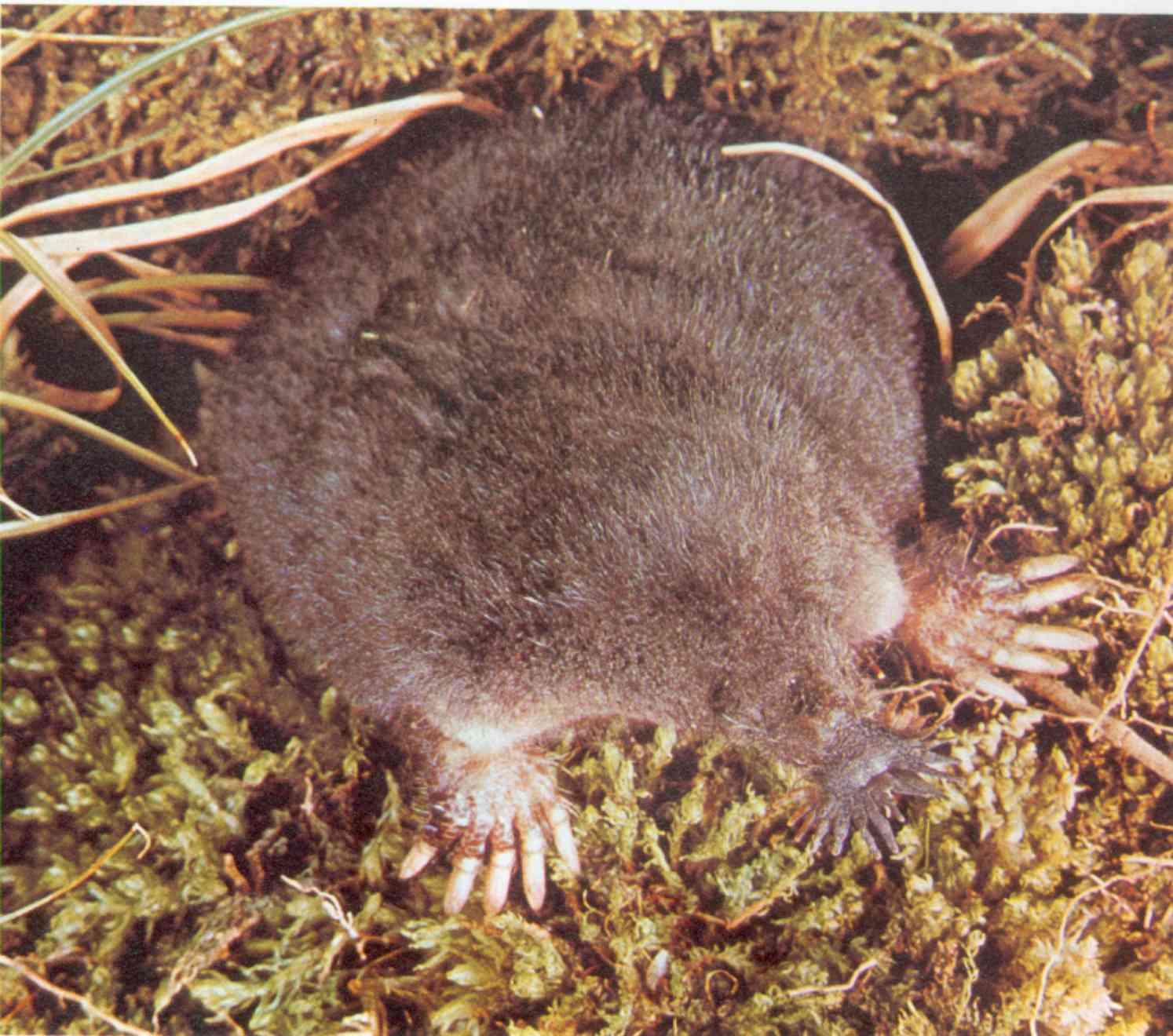 Mammiferi gruppo valle nava for Talpa mammifero