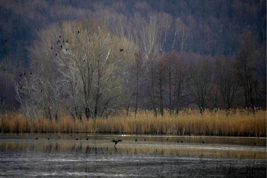 1alserio- ritrovo di cormorani