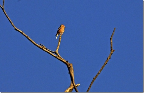 16633%20Frosone%20(Coccothraustes%20coccothraustes)[2]